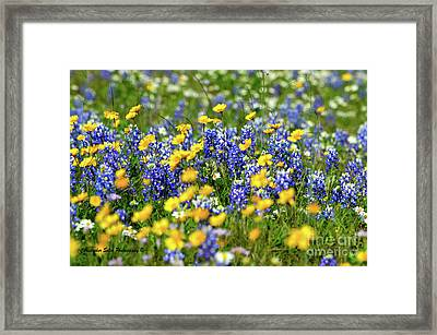 Texas Blue Bonnet  Framed Print