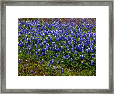 Framed Print featuring the photograph Texas Bluebonnets #0484 by Barbara Tristan