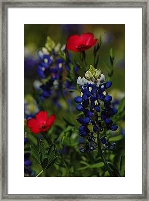 Texas Blue Bonnett Framed Print