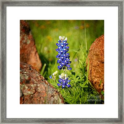 Texas Bluebonnet Framed Print