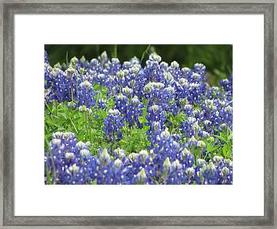 Texas Bluebonnets Austin Texas Framed Print