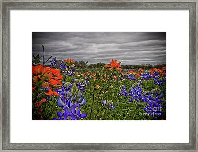 Texas Bluebonnets Framed Print