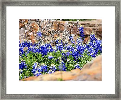 Texas Bluebonnets Framed Print by Sherwanda Irvin