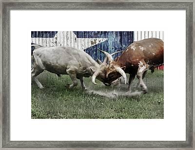Texas Bull Fight  Framed Print