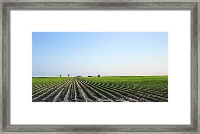Texas Corn Field Framed Print