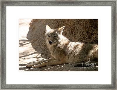 Texas Coyote Framed Print by Jeannie Burleson