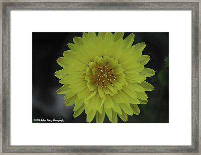 Texas Dandelion Framed Print by Robyn Stacey