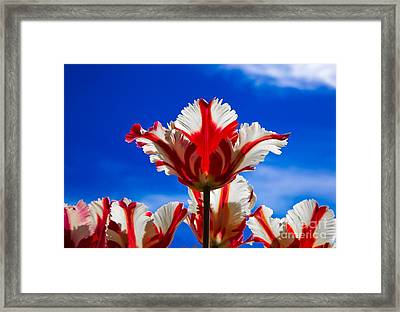 Texas Flame Parrot Tulip Framed Print