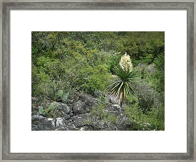 Texas Hill Country Yucca Framed Print by Linda Phelps