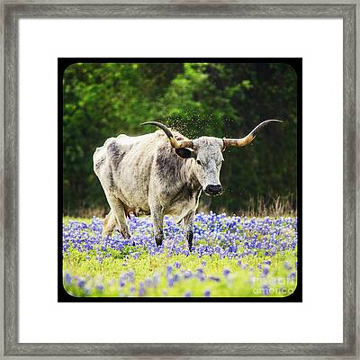 Texas Longhorn And Bluebonnets Framed Print by Katya Horner