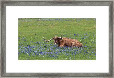 Texas Longhorn And Bluebonnets Framed Print