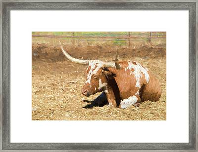 Texas Longhorn At Rest Framed Print
