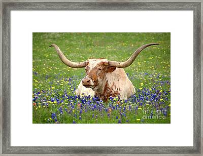 Texas Longhorn In Bluebonnets Framed Print