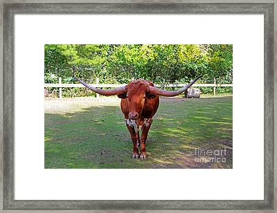 Texas Longhorn Framed Print by Nishanth Gopinathan