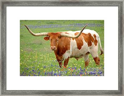 Texas Longhorn Standing In Bluebonnets Framed Print