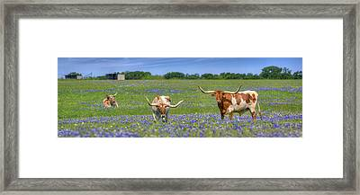 Texas Longhorns In Bluebonnets Panorama Framed Print by Rob Greebon