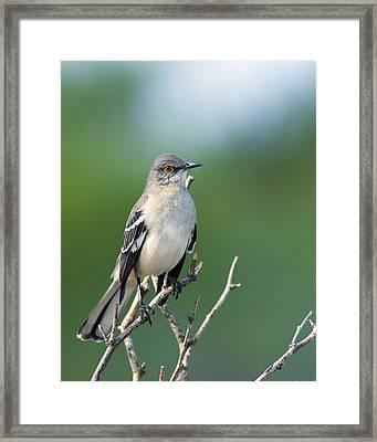 Texas Mockingbird Framed Print