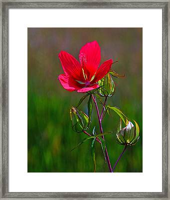 Texas Star Hibiscus Framed Print