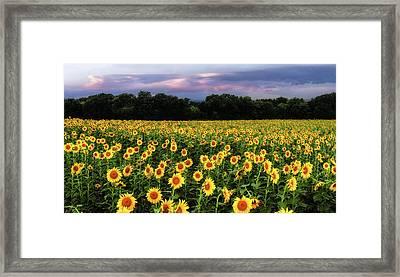 Texas Sunflowers Framed Print