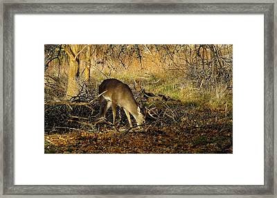 Texas Whitetail Buck Framed Print by Bill Morgenstern