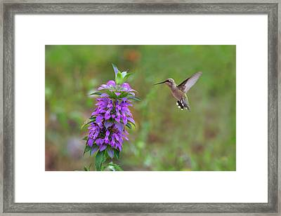 Texas Wildflowers - Horsemint And Hummingbirds Framed Print by Rob Greebon