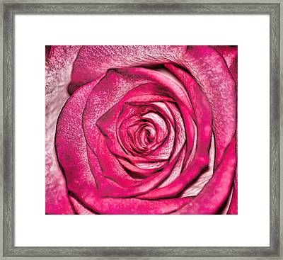 Texture Of A Rose Framed Print by Martin Newman