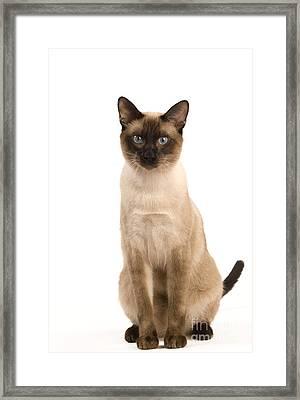 Thai Cat Framed Print by Jean-Michel Labat