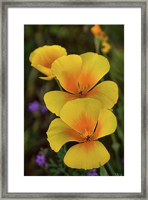 Framed Print featuring the photograph That Golden Spring Glow  by Saija Lehtonen