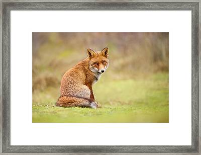 That Look - Red Fox Male Framed Print