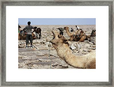 The Afar People And Their Camels Framed Print