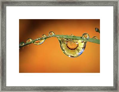 The African Daisey Framed Print by Gary Yost
