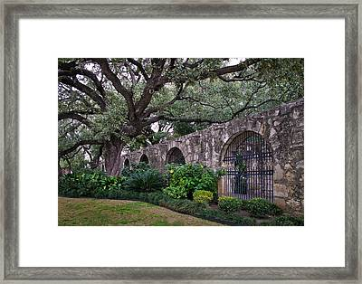 The Alamo Oak Framed Print