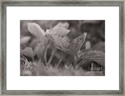 The Allotment Project - Strawberry Plant Framed Print