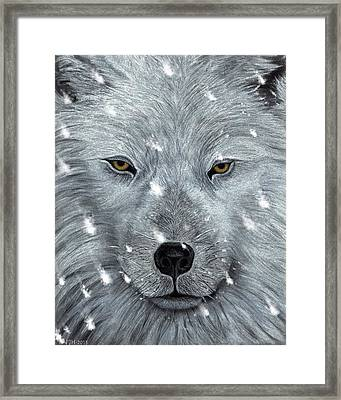 The Amber Eyed Wolf Framed Print by Philip Harvey