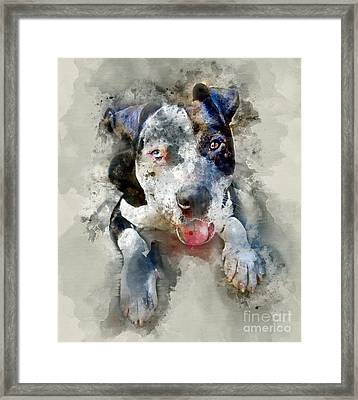 The American Pitbull Framed Print