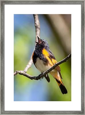 The American Redstart Framed Print by Bill Wakeley