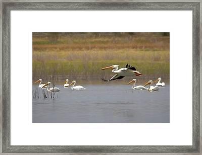 The American White Pelicans Framed Print by Ernie Echols