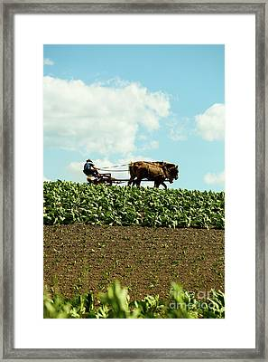 The Amish Farmer With Horses In Tobacco Field Framed Print