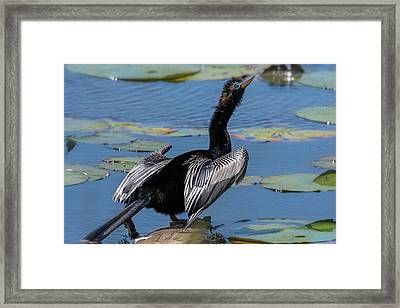 Framed Print featuring the photograph The Bird, Anhinga by Cindy Lark Hartman