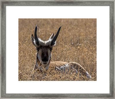 The Antelope Framed Print