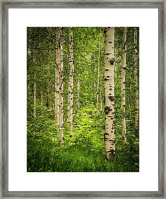 The Aspen Grove Framed Print