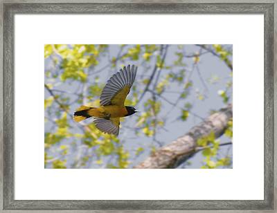 The Baltimore Oriole In-flight Framed Print