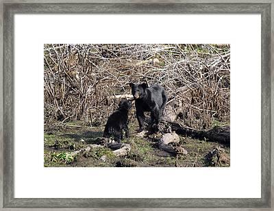The Bears IIi Framed Print