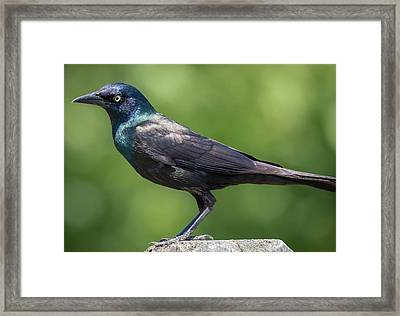 Framed Print featuring the photograph The Beautiful Common Grackle by Ricky L Jones