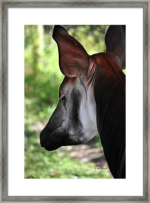 The Beautiful Okapi 01 Framed Print by John Knapko