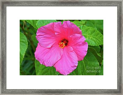The Beautiful Pink Hibiscus Framed Print