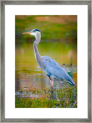 The Beauty Of A Great Blue Heron Framed Print by Parker Cunningham