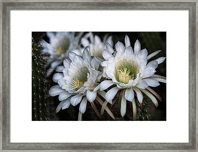 The Beauty Of Cactus Flowers  Framed Print