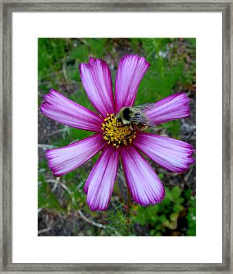 The Bee And A Pink Cosmos Framed Print by Ed Mosier