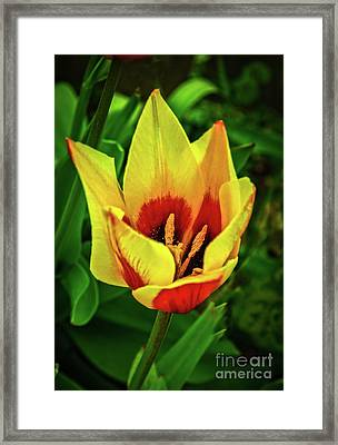 Framed Print featuring the photograph The Bicolor Tulip by Robert Bales